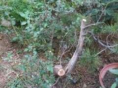 榔榆下山桩和山榆有什么区别 图片