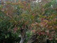 为什么榔榆下山桩叶子 开始红了 图片