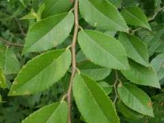 家榆 榔榆下山桩 花皮榆怎么区分 图片