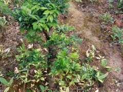 地栽榔榆下山桩 求怎么造型的方法 图片
