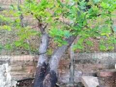 这是榔榆下山桩 还是榆树下山桩 怎么区别