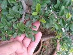 榔榆下山桩的大叶和小叶有什么区别 图片