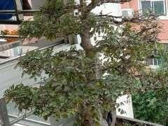 榔榆下山桩叶子怎么有点黄了 图片