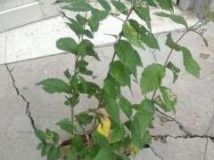 这是榔榆下山桩 还是家榆 还是别的榆树