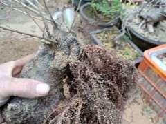 为什么榔榆下山桩用纯沙栽最好 图片
