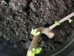大神看看 这个是榔榆下山桩 图片
