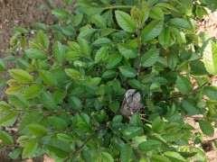 榔榆下山桩是不是家榆 怎么区别 图片