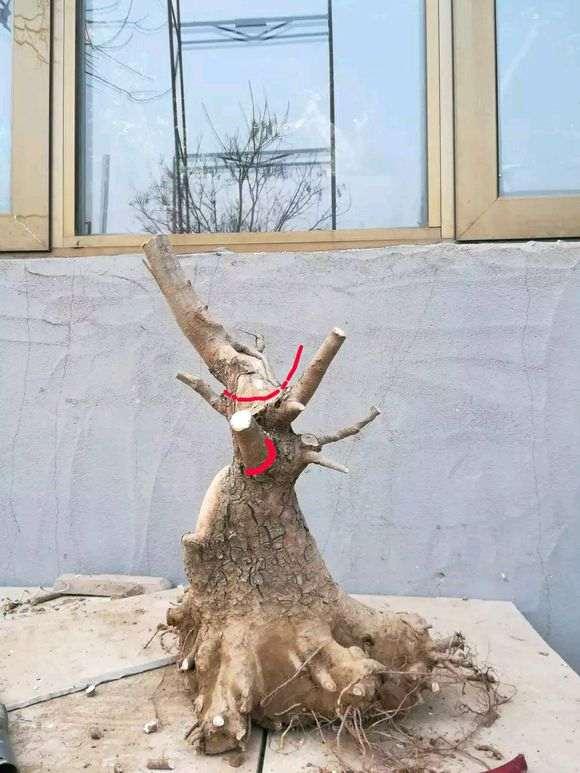 我挖的榔榆下山桩矮霸 怎么样 图片