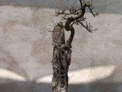 榔榆下山桩树能养活吗 怎么弄才能活 图片