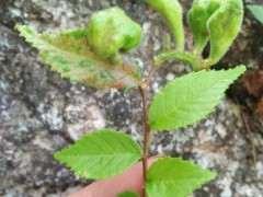 榔榆下山桩被寄生 这是怎么形成得 图片