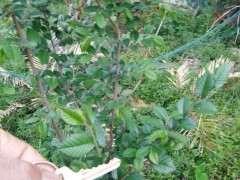这什么榔榆下山桩 秋天叶子变红色 图片