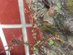 怎么治疗榔榆下山桩的小叶病 图片
