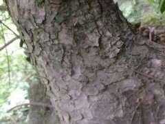 为什么还有人在用榉树冒出榔榆下山桩 图片