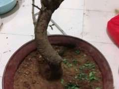 榆树下山桩根部太长 可以制作就吗 图片