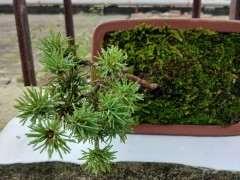 南方种植五针松下山桩怎么养护呢 图片