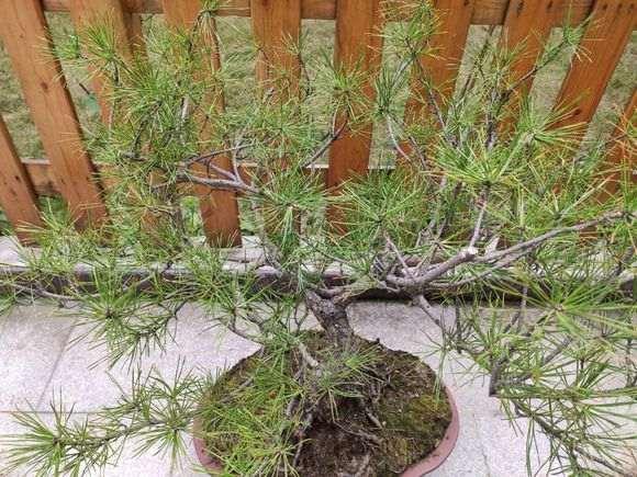 这个是什么松树下山桩 不像黑松 图片
