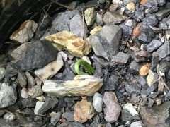 大阪松下山桩的小苗发芽了 看看 图片