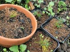 瑞祥五针松扦插下山桩苗死了两个月了