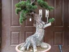 大阪松下山桩怎么嫁接过小黑松做砧木