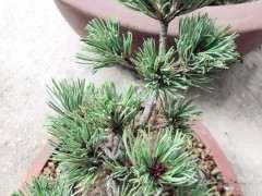 为什么种植五针松下山桩不容易 图片