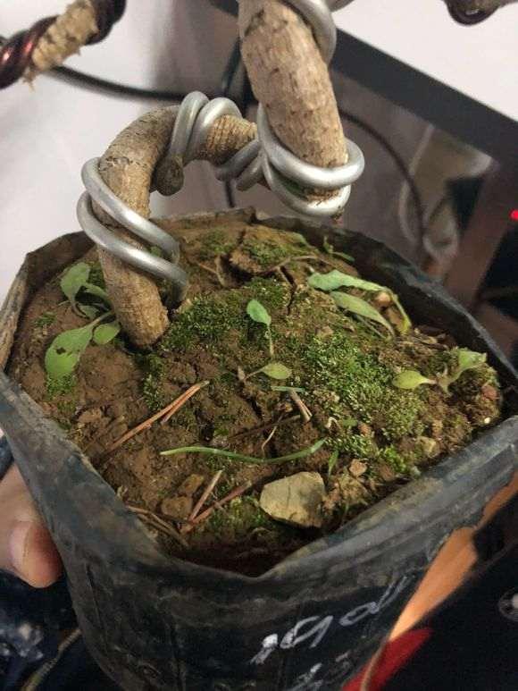黑松下山桩怎么用赤玉土种植 图片