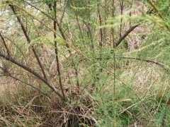 这是什么下山桩 叶子长得像柏树 图片
