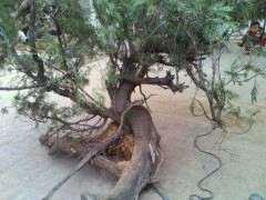 柏树下山桩对阳光 土壤是个什么要求 图片
