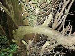 柏树下山桩高压好生根吗 图片