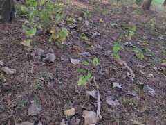 柏树下山桩的腐叶土 可以种月季 图片
