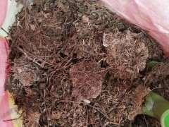 柏树下山桩的腐烂叶 能种月季吗 图片