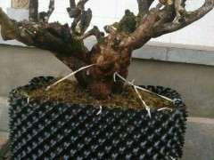 为什么清香木下山桩非常快20天左右发芽