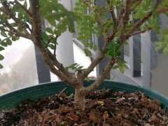 这个清香木下山桩是什么情况 冬天掉叶