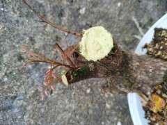 为什么广西清香木下山桩也是红芽 图片