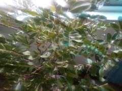 清香木下山桩严重缺水 叶子都卷了 图片