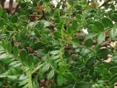 为什么清香木下山桩的叶子比较长 图片