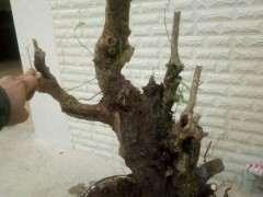 两个多月的清香木下山桩 纯沙养的 图片