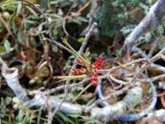 清香木下山桩每年有几次花期 图片
