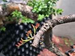 2棵清香木下山桩都发芽了 怎么样 图片
