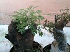 栽种3个月的清香木下山桩来芽了怎么办