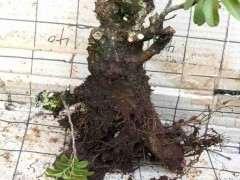 清香木下山桩怎么栽才能成活 图片