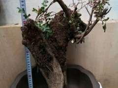 清香木下山桩多久发芽 不是水芽 图片