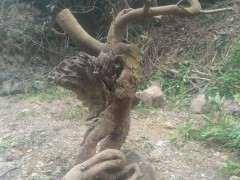 清香木下山桩老桩 重44斤 怎么样 图片