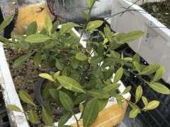 金豆下山桩叶子发黄怎么回事啊 图片