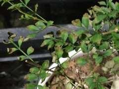 对节白蜡下山桩 叶子干枯 怎么办 图片