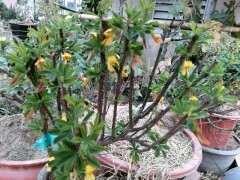 秋季金雀下山桩会开花吗 我的为什么开花