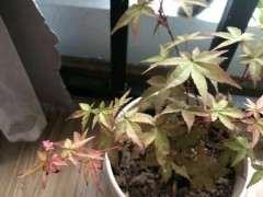 养红舞姬红枫下山桩用什么肥料好 图片