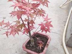 红枫下山桩什么季节移植最好 图片