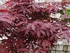 日本红枫下山桩和普通红枫下有什么区别