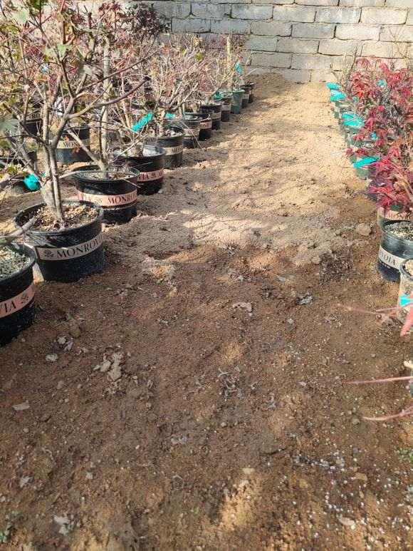为什么红枫下山桩还是比较难生根 图片