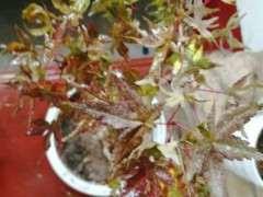 刚移植的红枫下山桩 要死了 怎么办